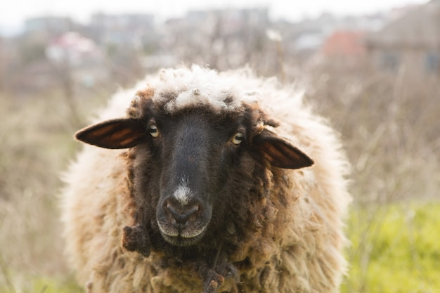 春に草を食べる羊