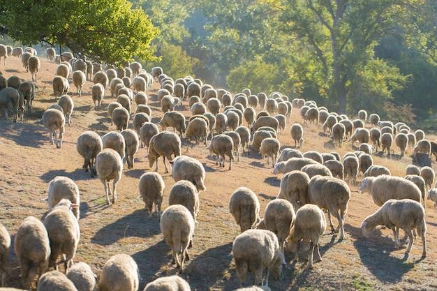春に緑の草に羊とヤギを放牧します。