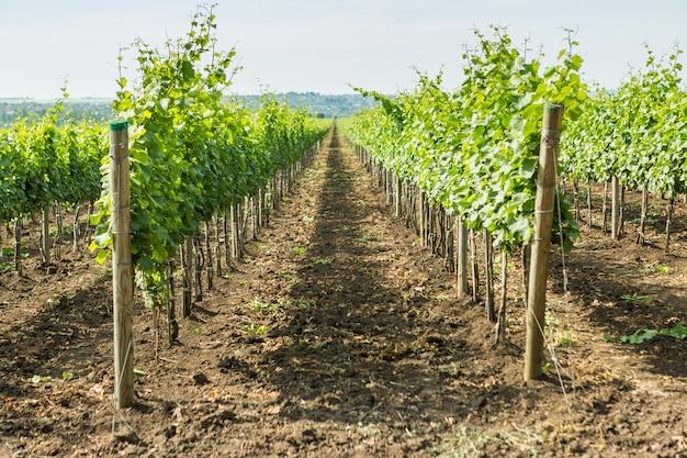 Ряды плантации виноградников