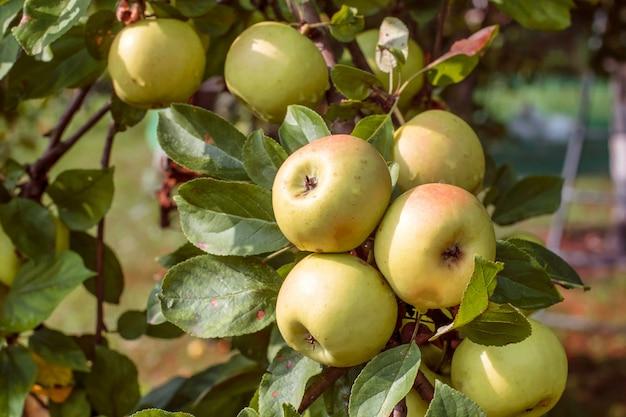 夏の庭で熟したリンゴ。