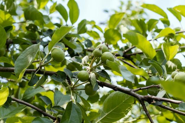 夏の庭のリンゴの木に熟していない緑の果物
