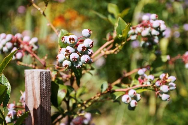 Черника созревает на кустах. сбор ягод летом и осенью.