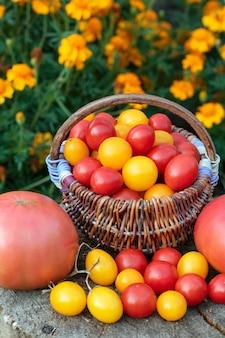 秋の収穫。カラフルなトマト、赤、黄色、オレンジの素朴な木製の背景。