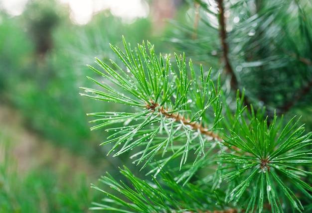 緑の松の枝のクローズアップ