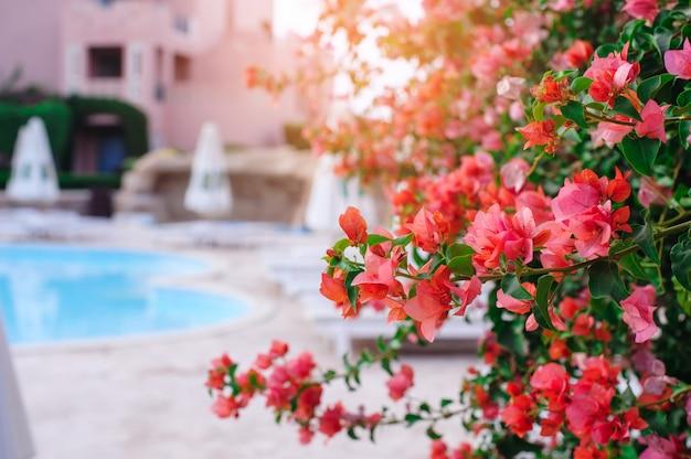 エジプトのホテルの開花ブッシュ。ブーゲンビリア
