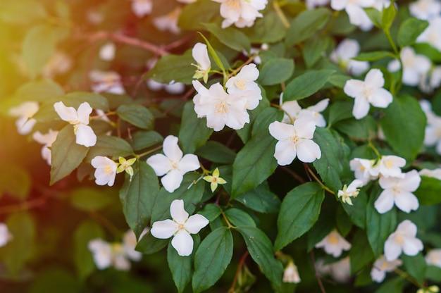Белые цветы жасмина на дереве в парке