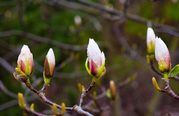 春の公園で木のマグノリアの芽をクローズアップ