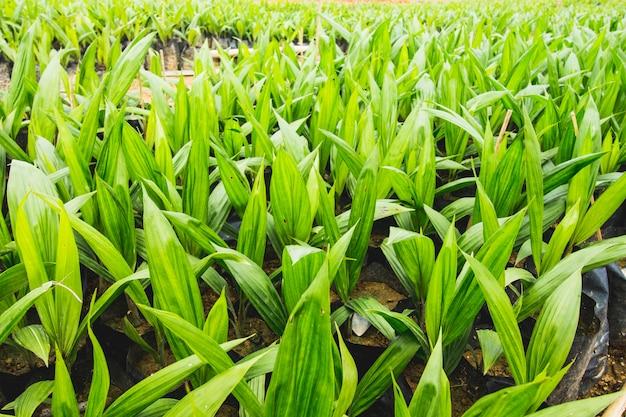 アブラヤシ農園、アブラヤシ播種