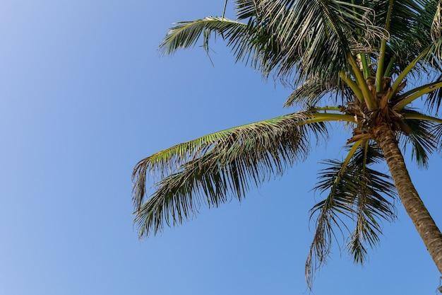 Кокосовая пальма, голубое небо