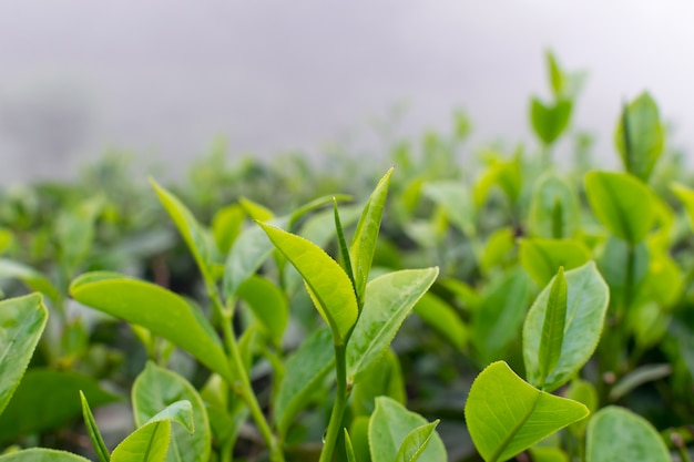 Крупным планом чайных листьев