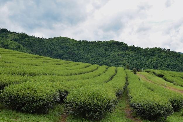 Плантация зеленого чая сельское хозяйство пейзаж природа северный таиланд