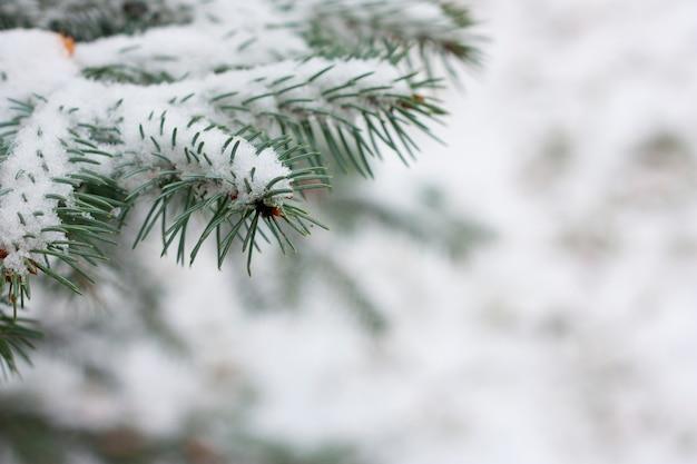 雪とスプルースの枝