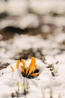 花は雪から打ち抜かれます