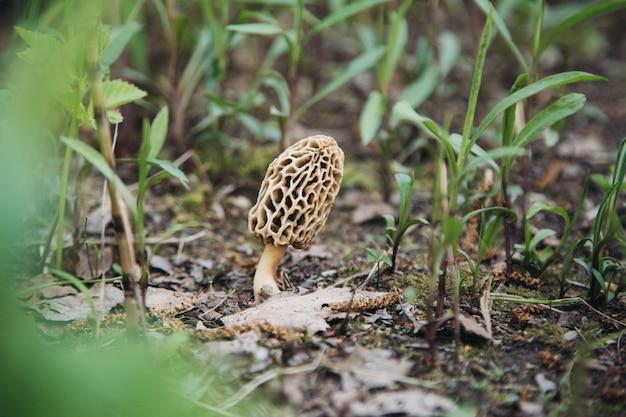 Съедобный грибной сморчок в природе