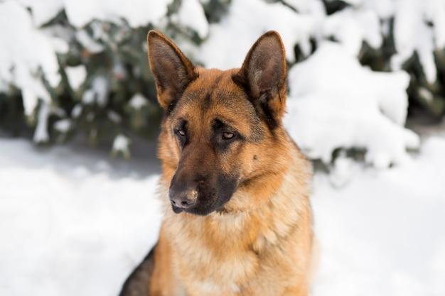 雪の中で立っているジャーマン・シェパード犬