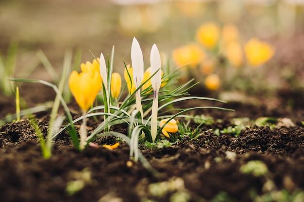 コピースペースを持つ最初の春の花