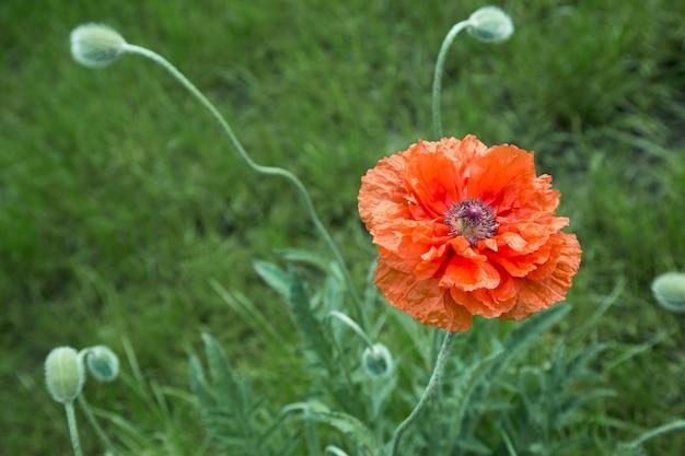 大きなケシの花と夏の背景