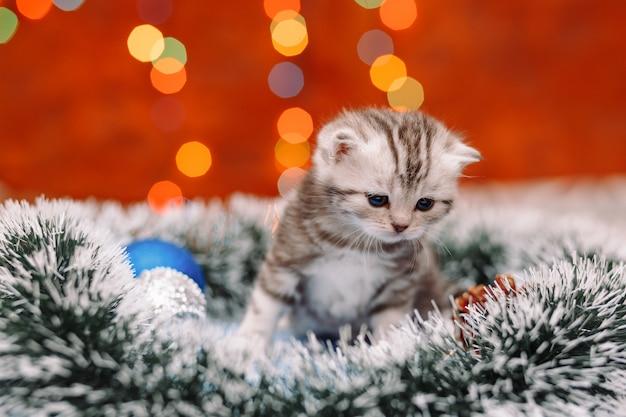 クリスマスの背景を持つかわいいスコットランド子猫