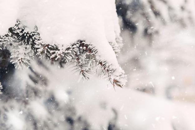 冬のモミの木の枝に雪が降る