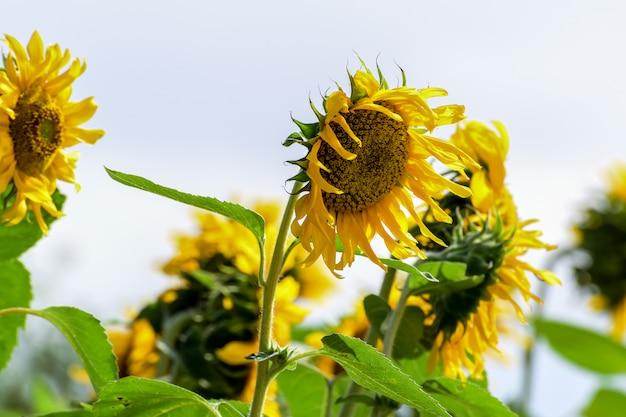 自然の美しさ、庭のひまわり、黄色い花
