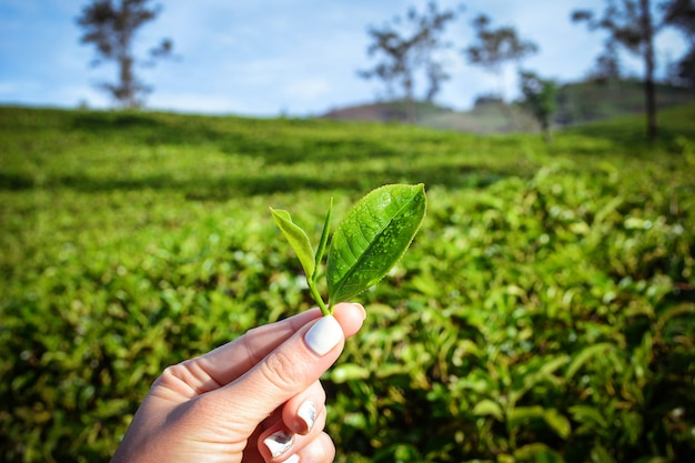 新鮮な茶葉のプランテーション