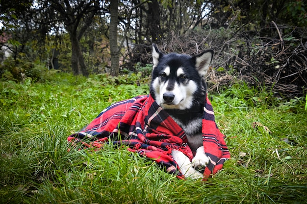 格子縞に包まれたかわいい犬