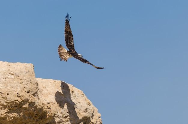 Орел в небе.