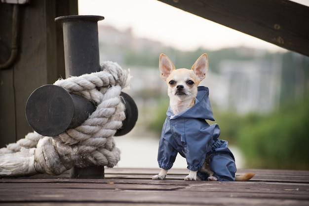 散歩に服を着て小さな犬