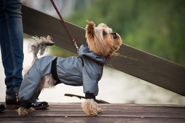 散歩に服を着て小さな犬。