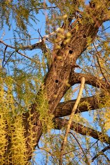 春の森の中空のキツツキと柳の木。