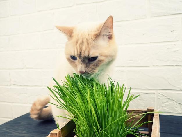 猫を食べる草、緑の背景に新鮮な草を食べて美しいクリーム色のトラ猫。猫は新鮮な緑の草を食べています。