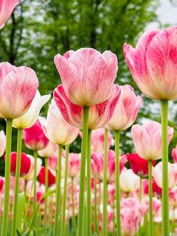 Красивые цветные тюльпаны на поле