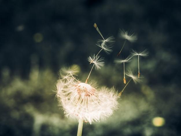 新鮮な緑の朝を越えて吹き飛ばす日光のタンポポの種