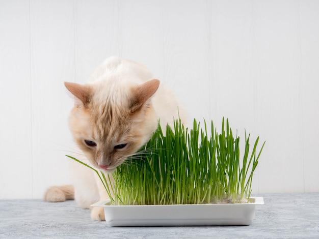 猫は新鮮な緑の草を食べています。猫草、ペット草。自然なヘアボール治療、白、赤のペットの猫、新鮮な草、緑のオート麦、感情的に、コピースペース、ペットの健康の概念を食べる