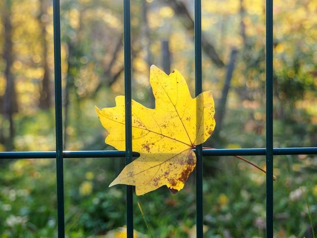 Кленовый лист на сетке металлический забор в осенний сезон в октябре