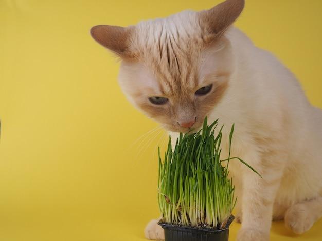 猫は新鮮な緑の草を食べています。