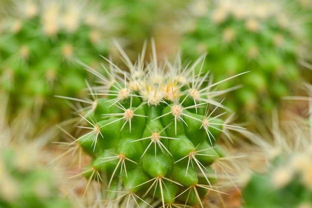Крупный план макроса зеленого кактуса в саде. выборочный фокус.