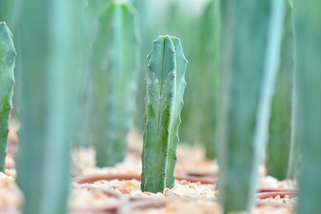 庭の緑のサボテンのマクロのクローズアップ。セレクティブフォーカス