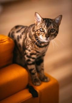 かわいいベンガルの猫は、黄色のソファーの上に立つ