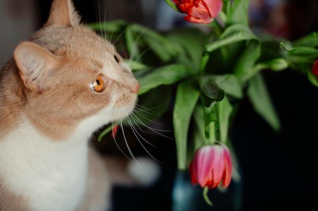 赤いチューリップはふわふわした猫の鼻に触れる