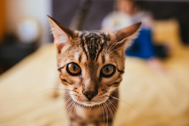 ベンガルの猫は彼女がベッドで読む間に女性にやってきます
