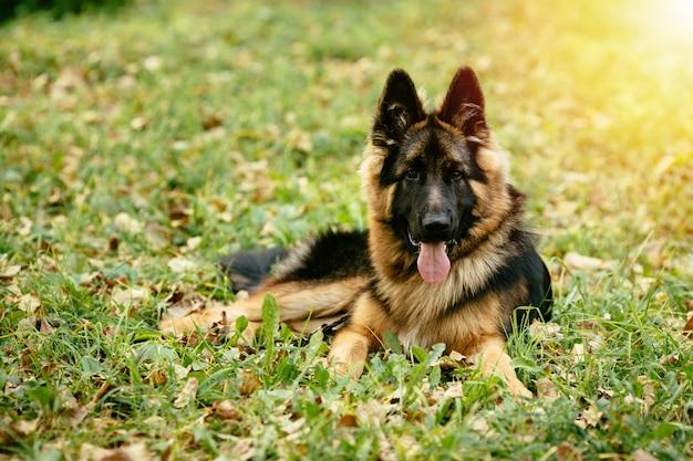 Собака немецкая овчарка, лежащая на траве в парке