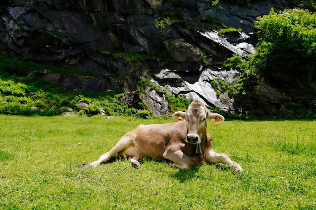 緑の畑で放牧された牛。高山草原の牛。美しいアルプスの風景