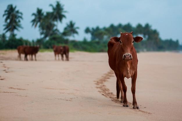 インドの牛はビーチにいる。