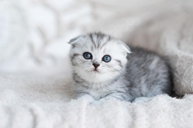 青い目の小さな灰色の子猫が灰色のソファに横たわっています
