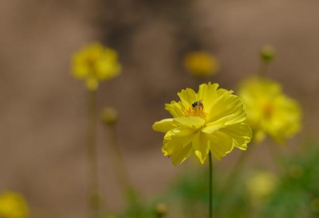 黄色のコスモスの花