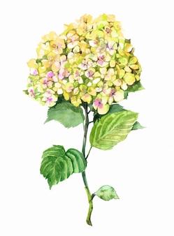 アジサイの黄色い花の水彩画