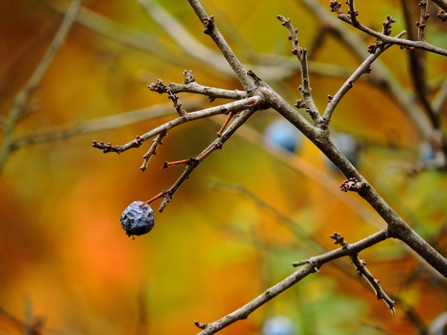 とげの秋の枝枝にブラックソーンの果実