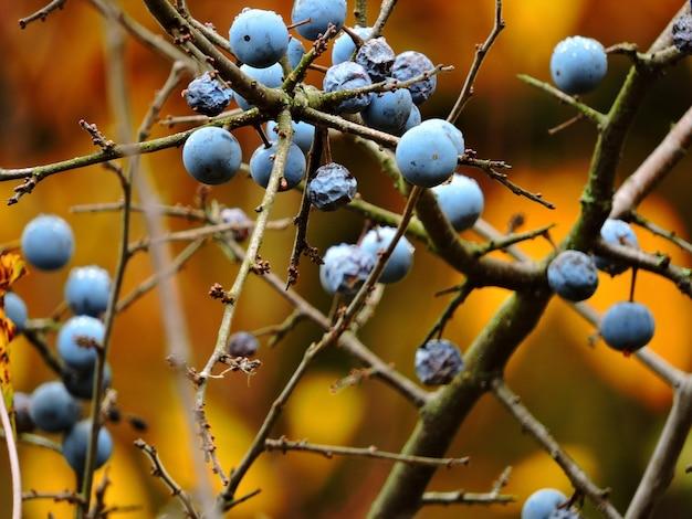 Колючие осенние ветки ягоды терновника на ветках