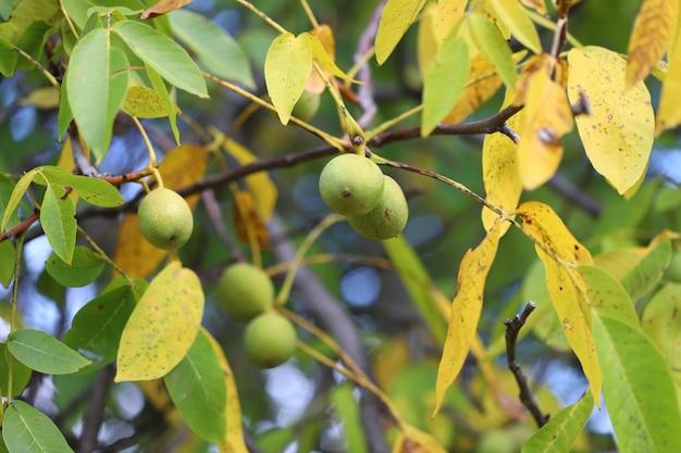 Грецкие орехи растут на дереве осенью